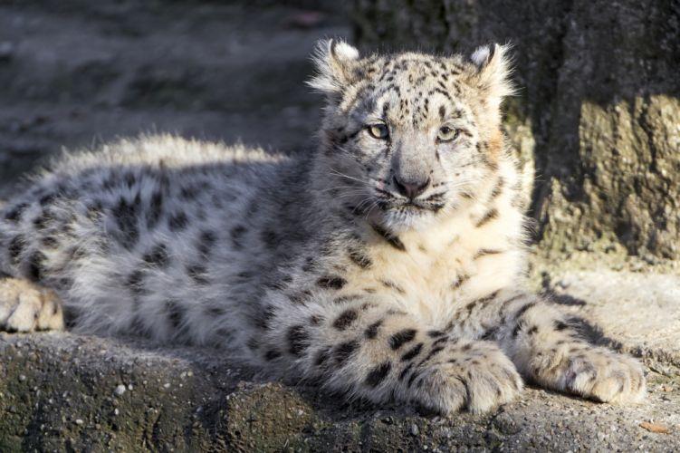 Big cats Leopard Glance Animals wallpaper