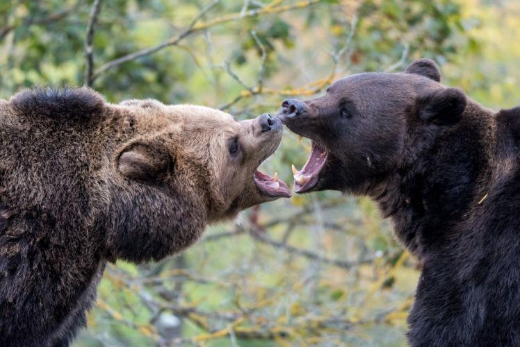 Bears Brown Bear Roar Two Animals wallpaper