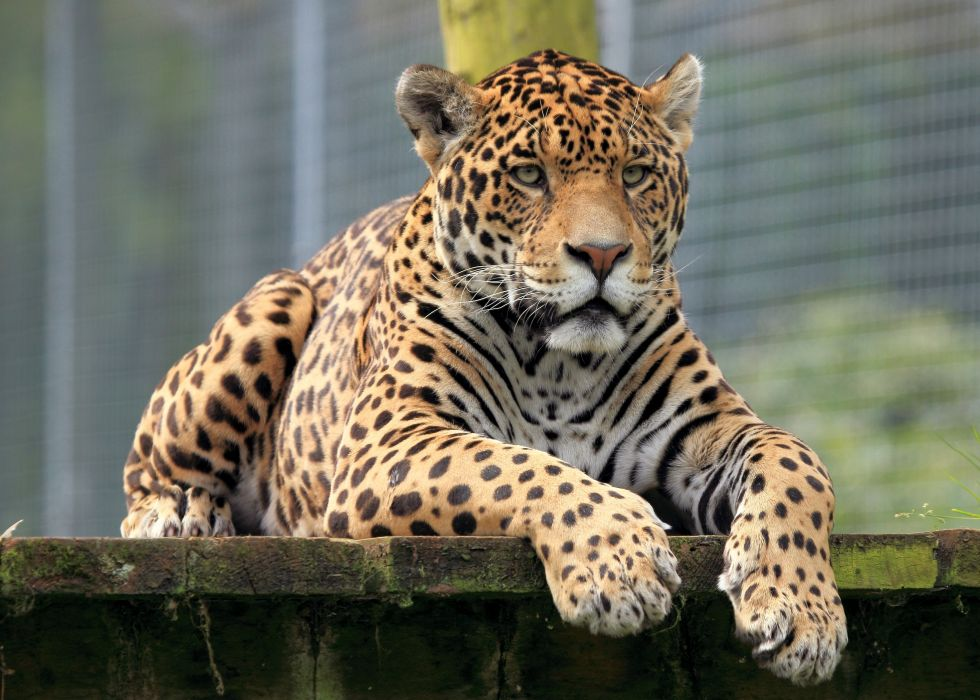 Big cats Leopard Snout Paws Animals wallpaper