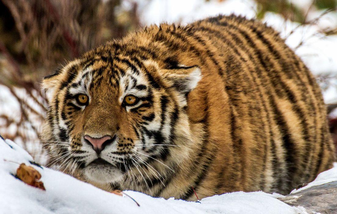 Big cats Tiger Snout Animals wallpaper