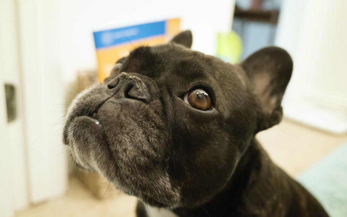 Black Glance Snout Pug Head Animals wallpaper