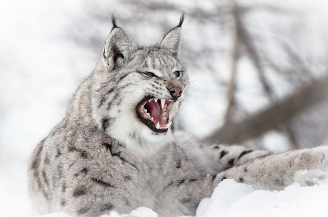 Big cats Lynx Roar Animals wallpaper
