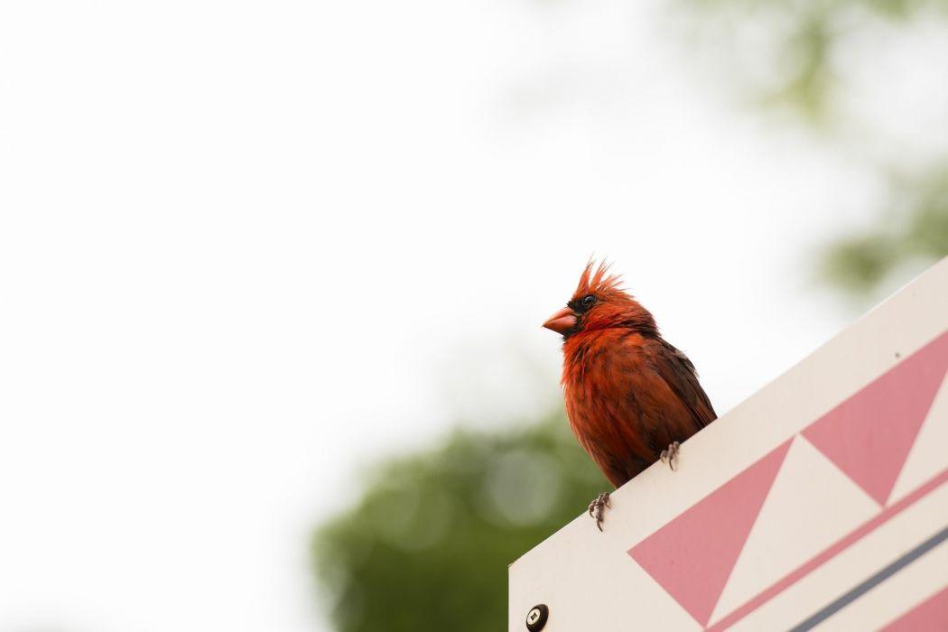 cardinal bird red wallpaper