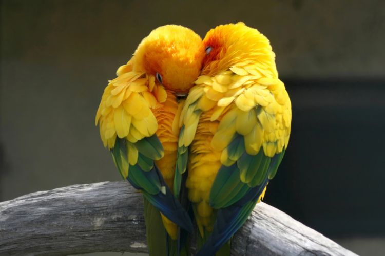 Birds Parrot Love Two Animals wallpaper