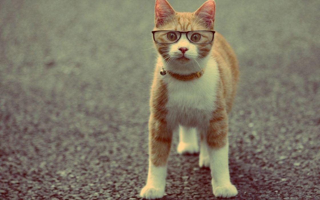 cat animal red collar glasses wallpaper
