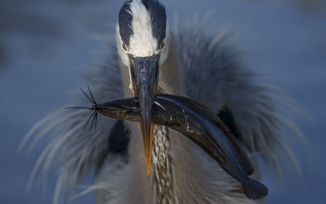 catch a bird fish beak wallpaper