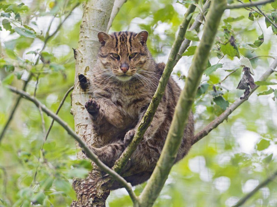 Cats Branches Prionailurus viverrinus Animals wallpaper