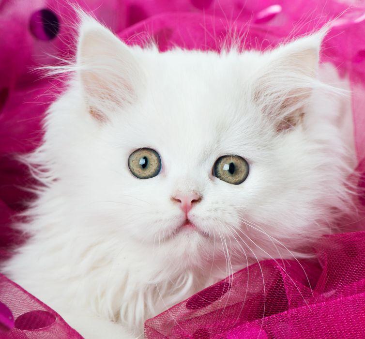 Cats Eyes Kitten White Animals wallpaper