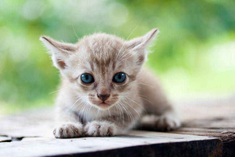 Cats Kitten Glance Animals wallpaper