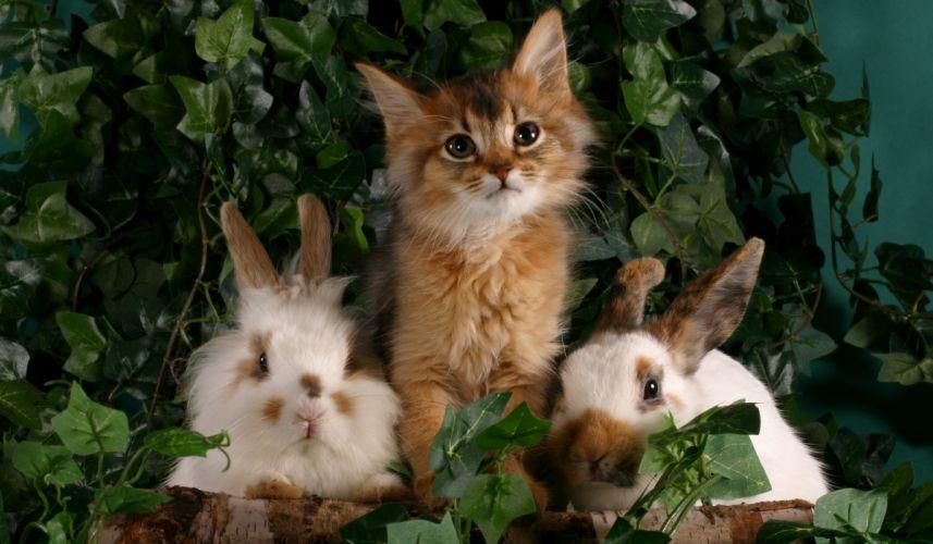 Cats Rabbit Kitten wallpaper