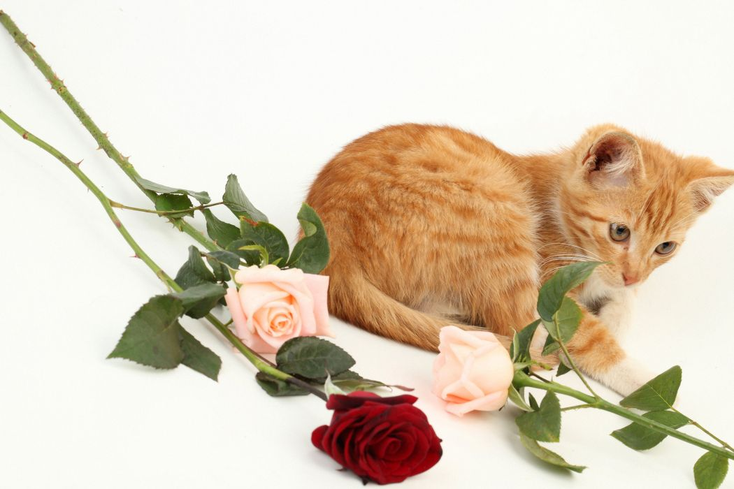 Cats Roses Kitten Ginger color Animals wallpaper