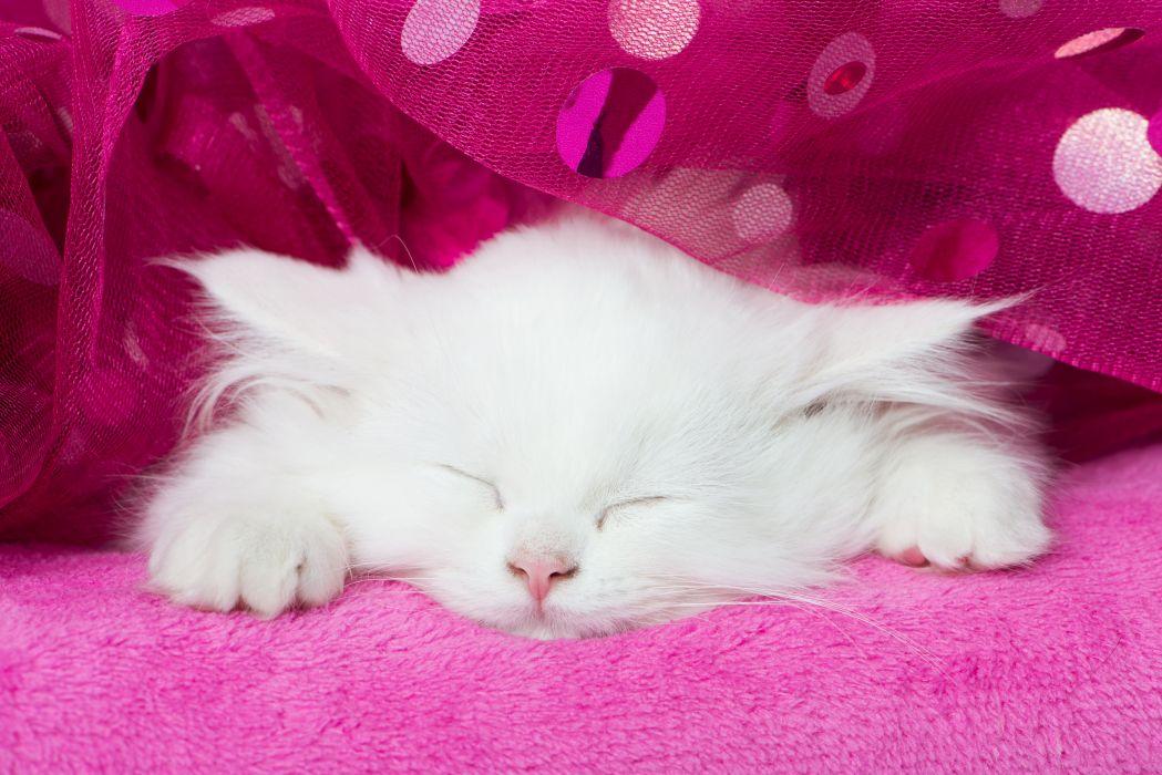 Cats Kitten White Sleep Animals wallpaper