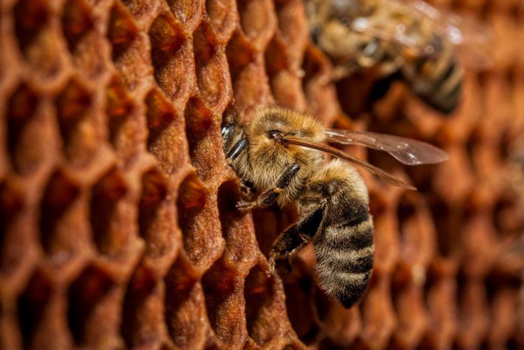 Closeup Bees Animals bee wallpaper