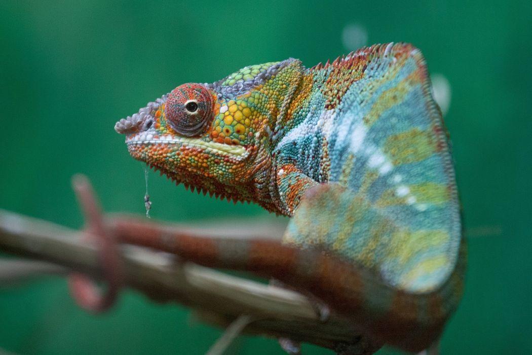Closeup Chameleon Animals wallpapers wallpaper