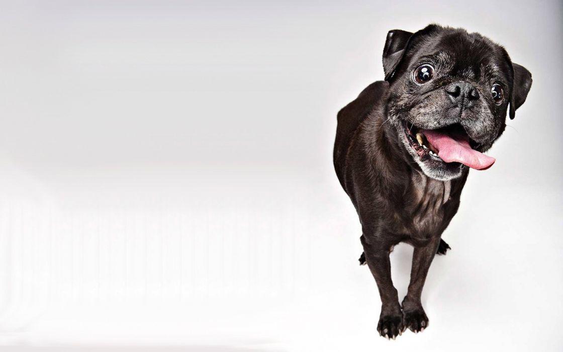 Dogs Black Pug Animals wallpaper