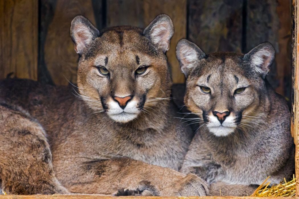 Cougar Couple Predator wallpaper