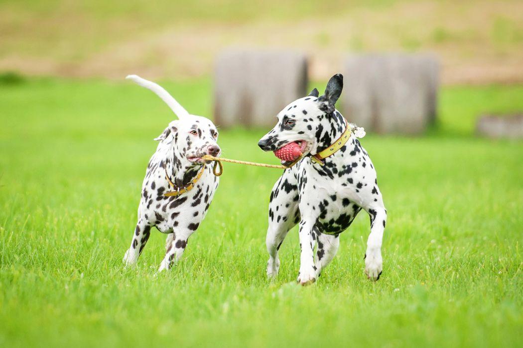 Dogs Dalmatian Two Run Grass Animals wallpaper