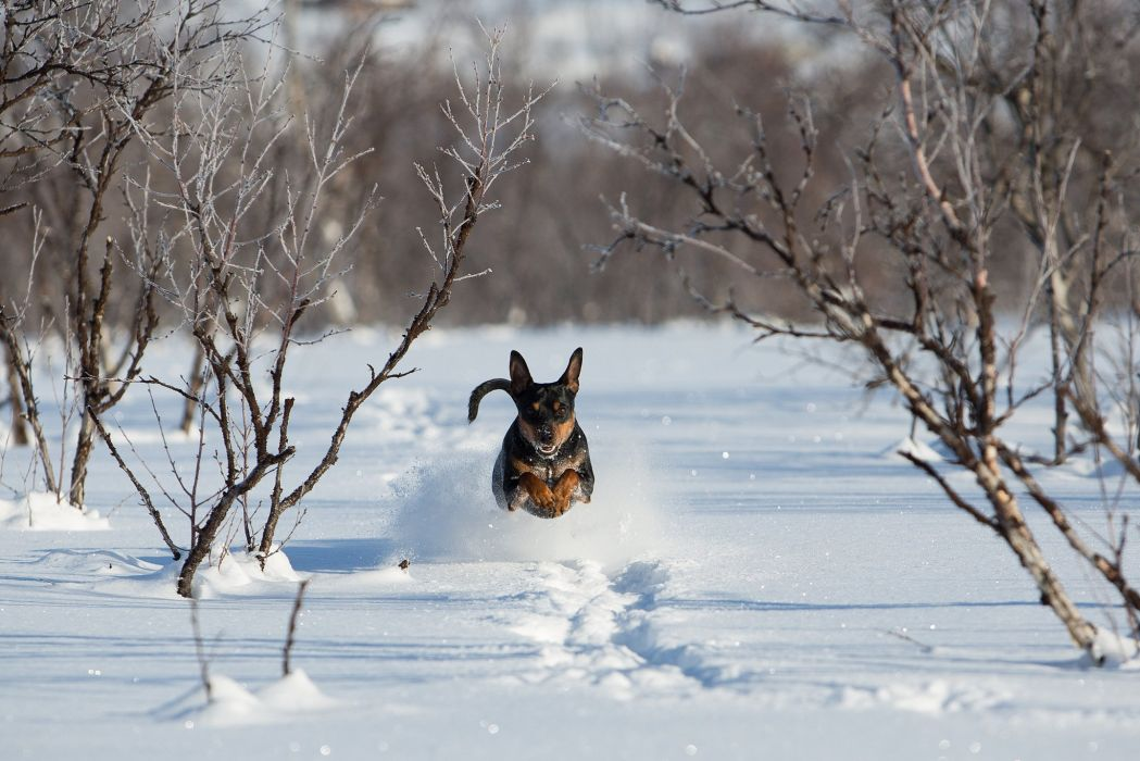 Dogs Snow Run Jump Animals winter wallpaper