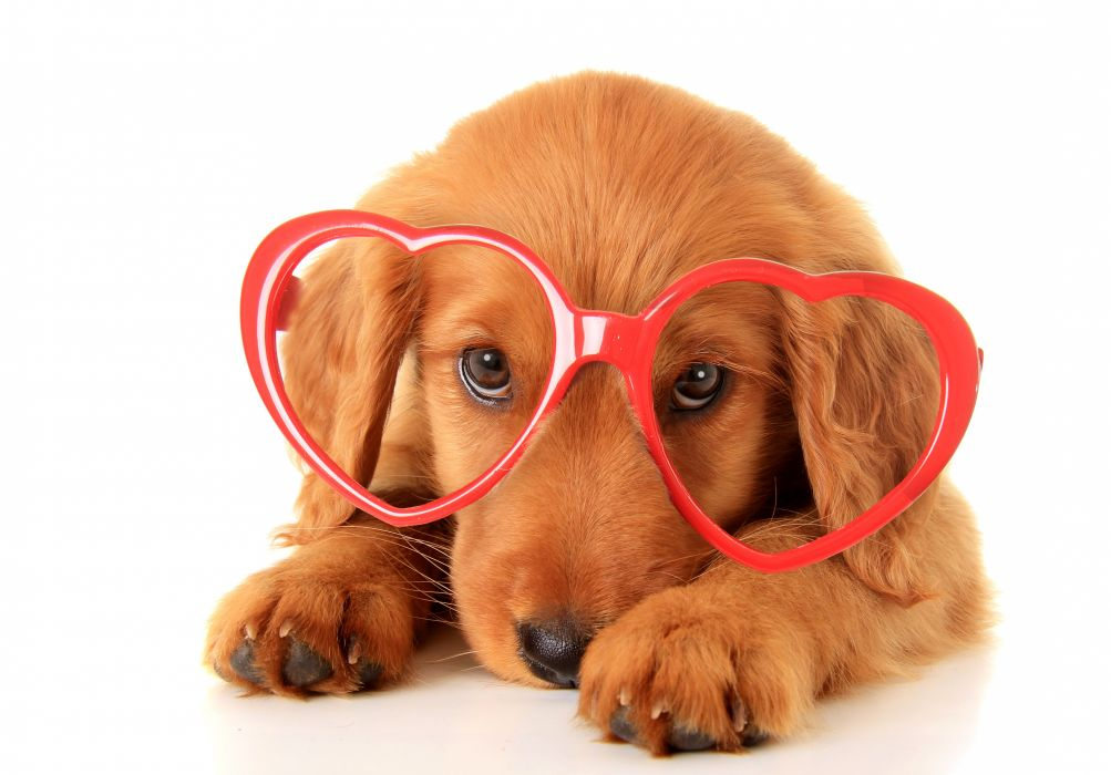 Dogs Retriever Glasses Heart Animals wallpaper