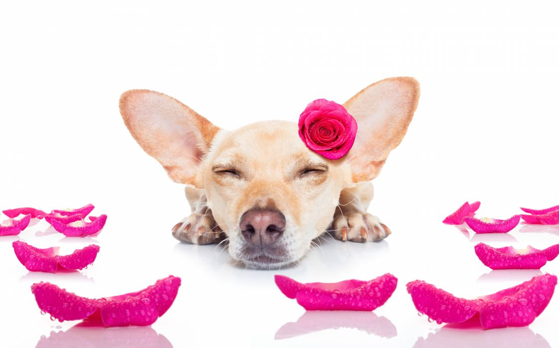 Dogs Roses Chihuahua Sleep Petals Animals wallpaper