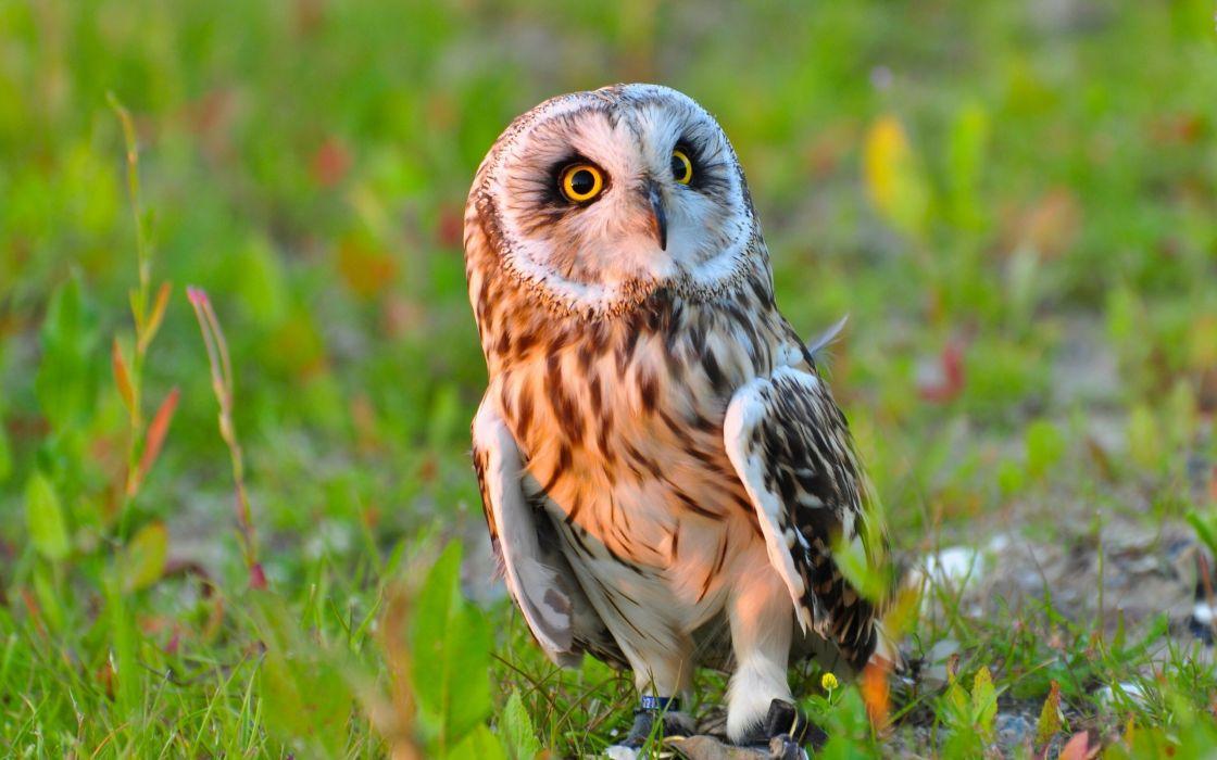 Owls Birds Animals wallpaper
