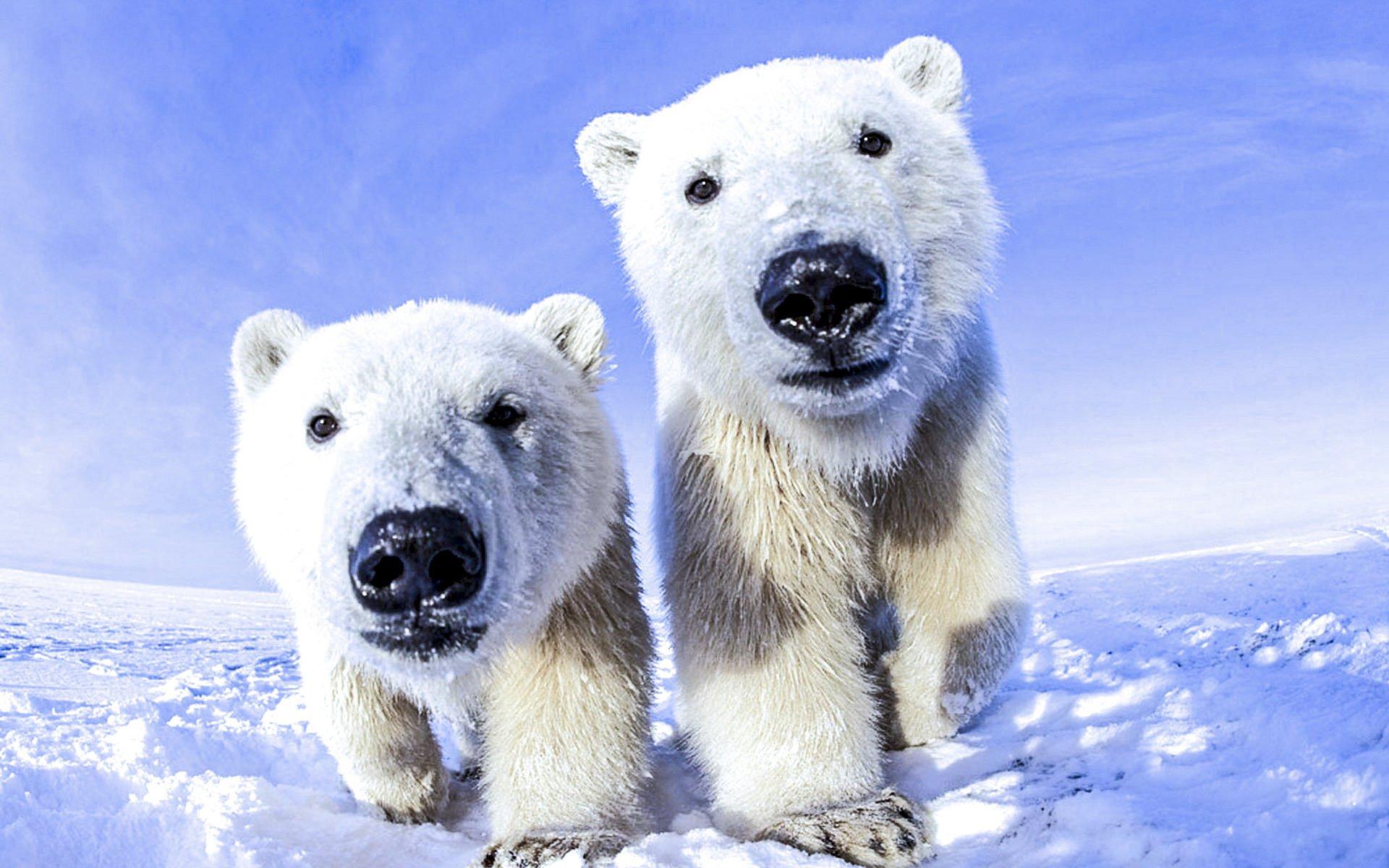 polar bear wallpaper | 1920x1200 | 892887 | wallpaperup