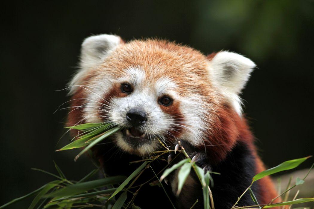 Pandas Snout Red panda Animals wallpaper