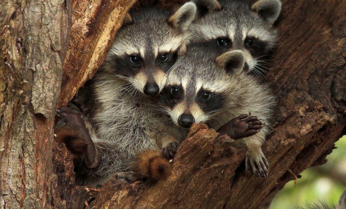 Raccoon Three 3 Glance wallpaper