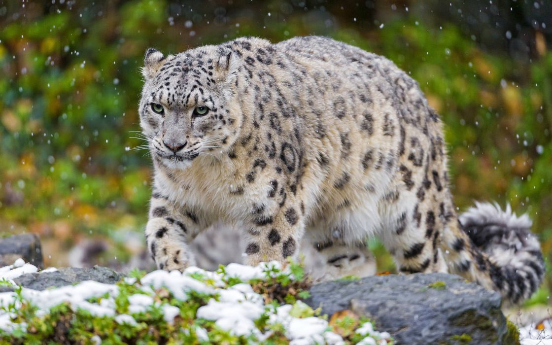 snow leopard predator wallpaper