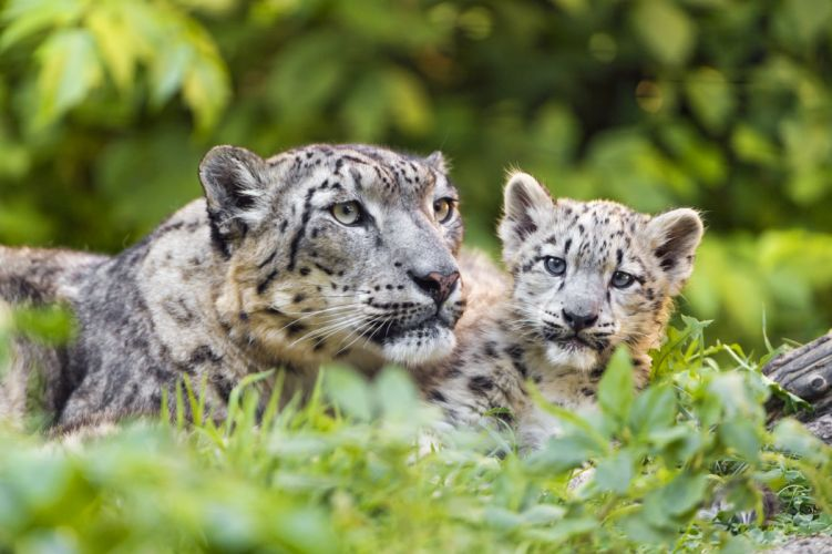 Snow leopard Cubs Two Animals wallpaper
