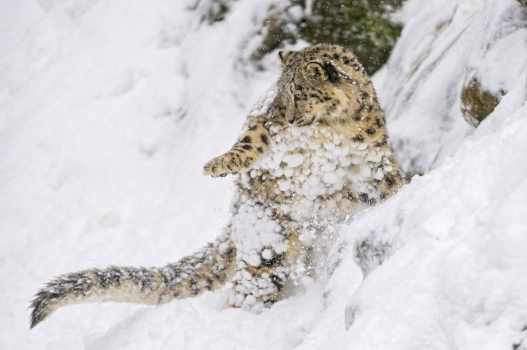 snow leopard snow leopard wild cat predator cub kitten baby jump play slope snow wallpaper