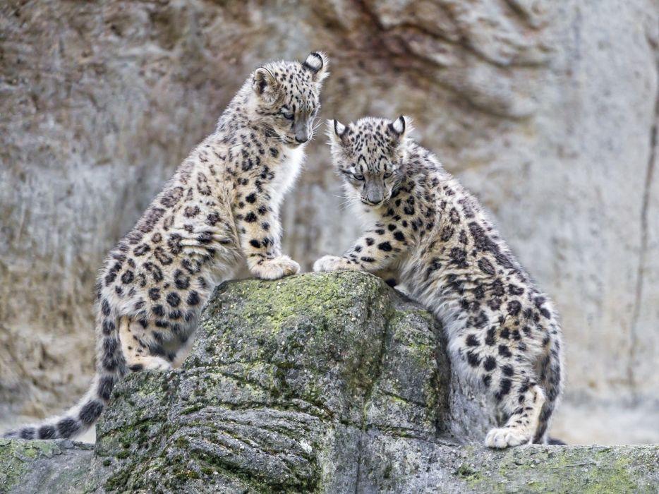 Snow Leopard Wild Cat Predator Leopards Couple Cub Wallpaper