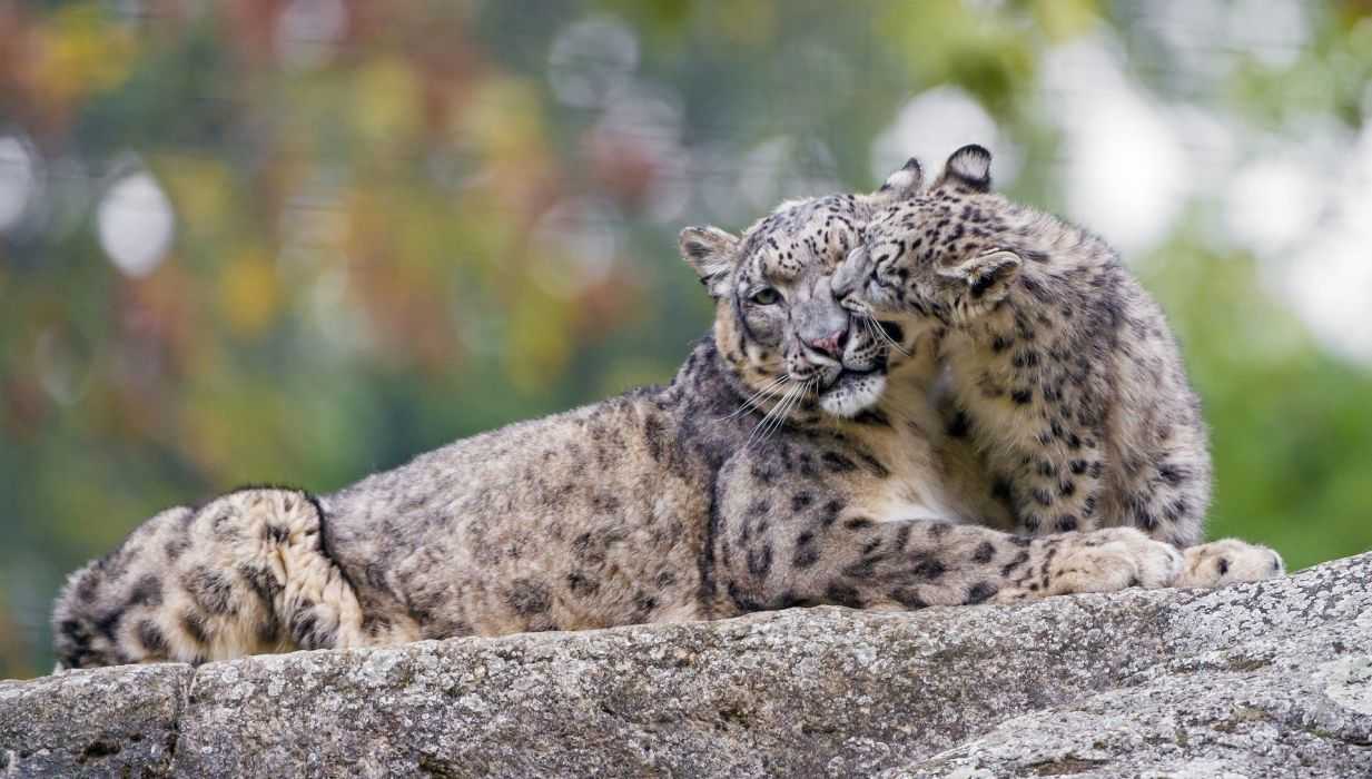 snow leopard wild cat predator couple family mother cub motherhood kindness caring game zoo wallpaper