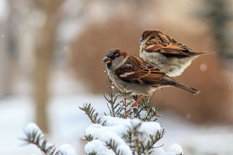 Sparrow Birds Winter wallpaper