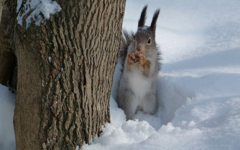 squirrel nut snow tree wallpaper