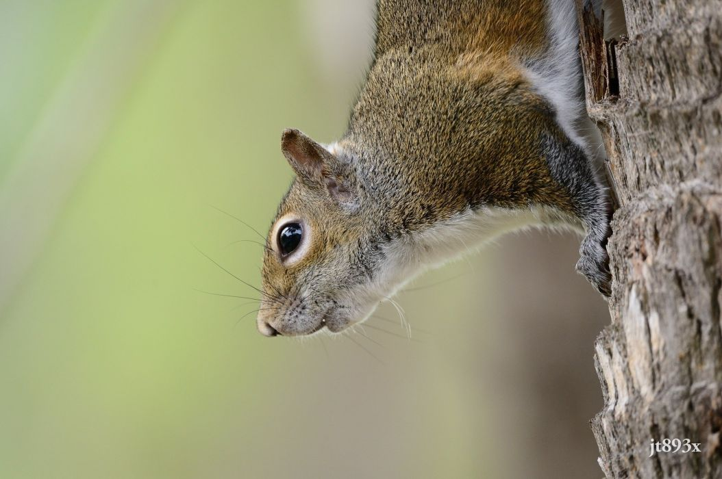 squirrel rodent small mammal muzzle wallpaper