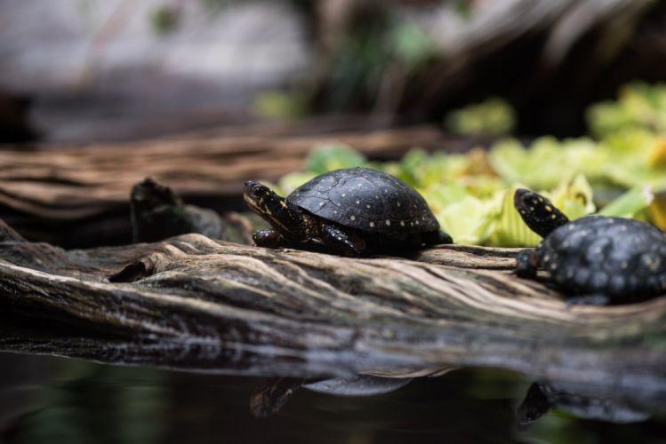 turtles reptiles macro wallpaper