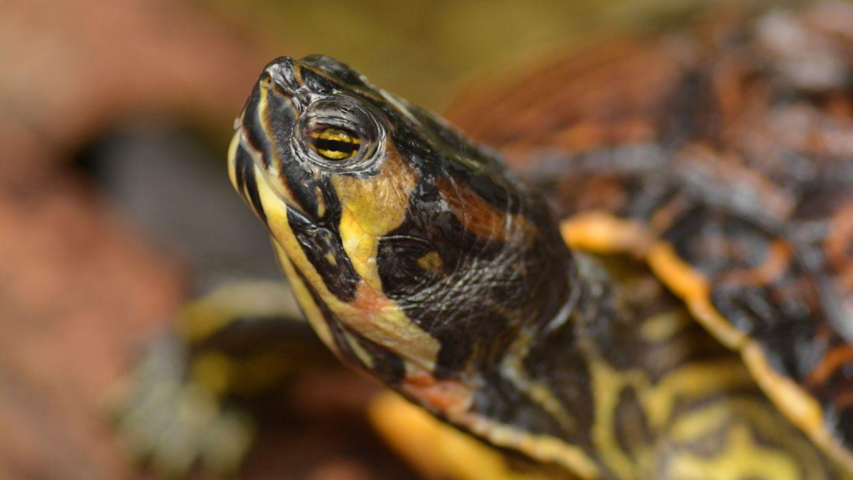 Turtle Closeup Head Animals wallpaper