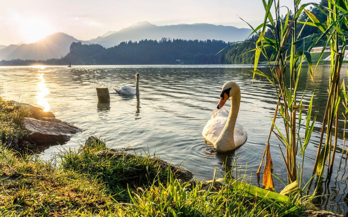 Swan Couple Lake Grass Reed Mountain Sunset wallpaper