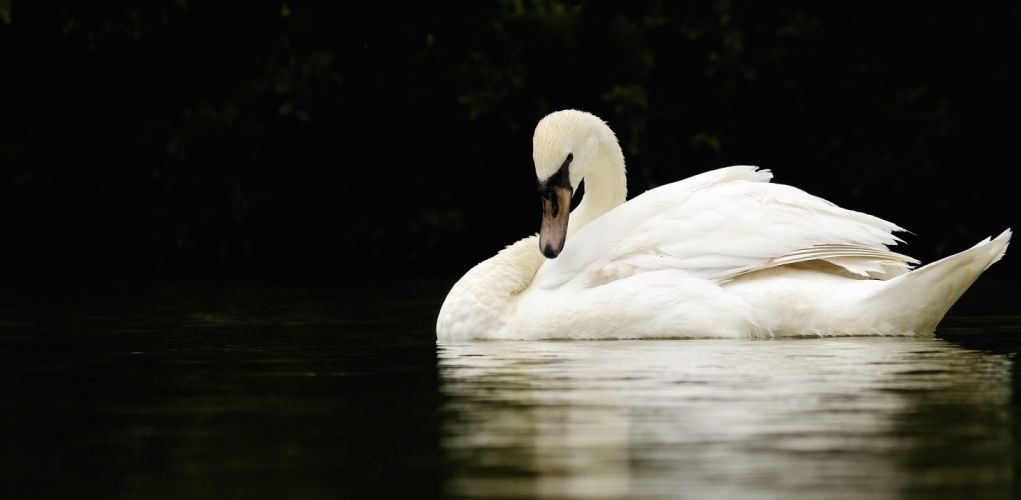 swan white grace neck pond reflection contrast wallpaper