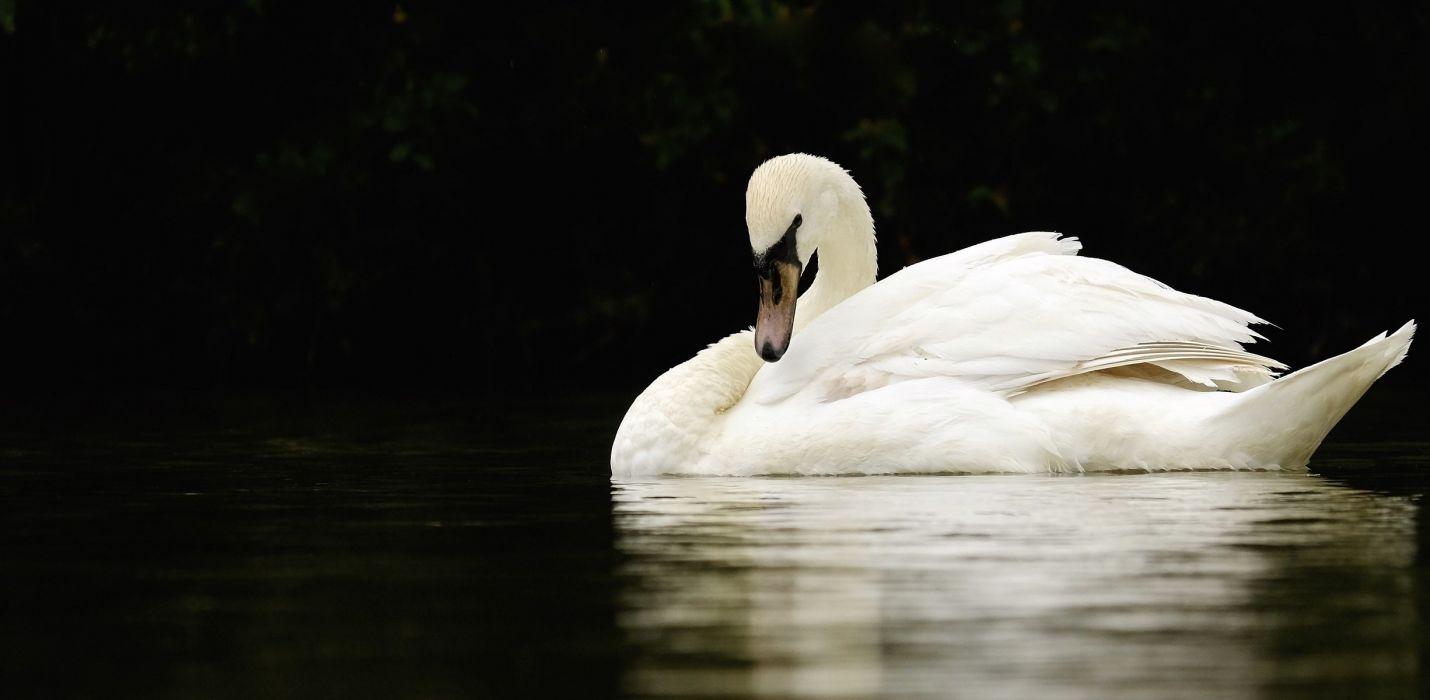 swan white grace neck pond reflection contrast wallpaper