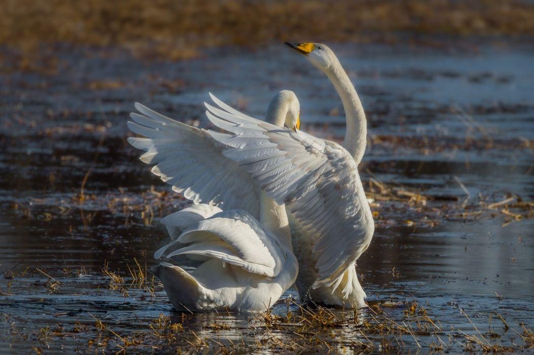 swans pair grace wings ornamental lake wallpaper