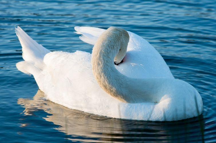 swan white grace ornamental lake plumage wallpaper