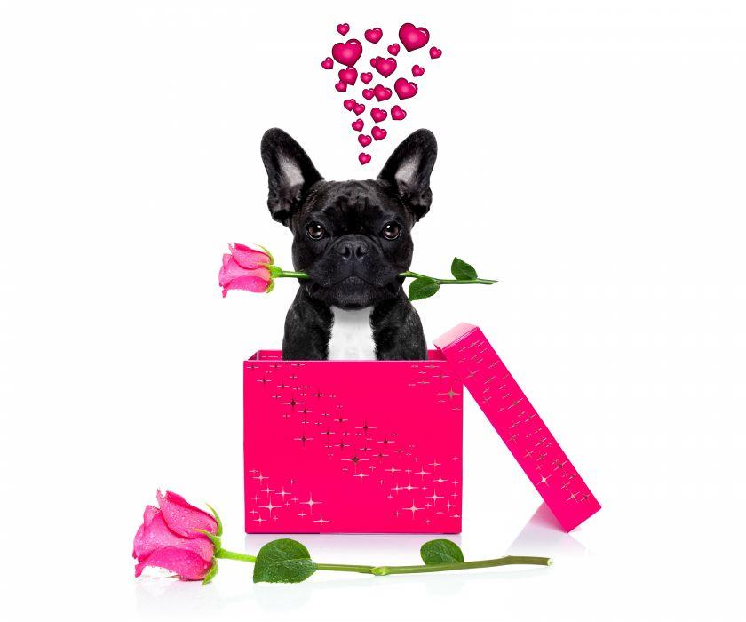 Valentine's Day Dogs Roses Bulldog Black Heart Box Animals wallpaper