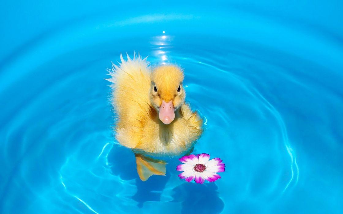 Water Duck Chickens Animals wallpaper