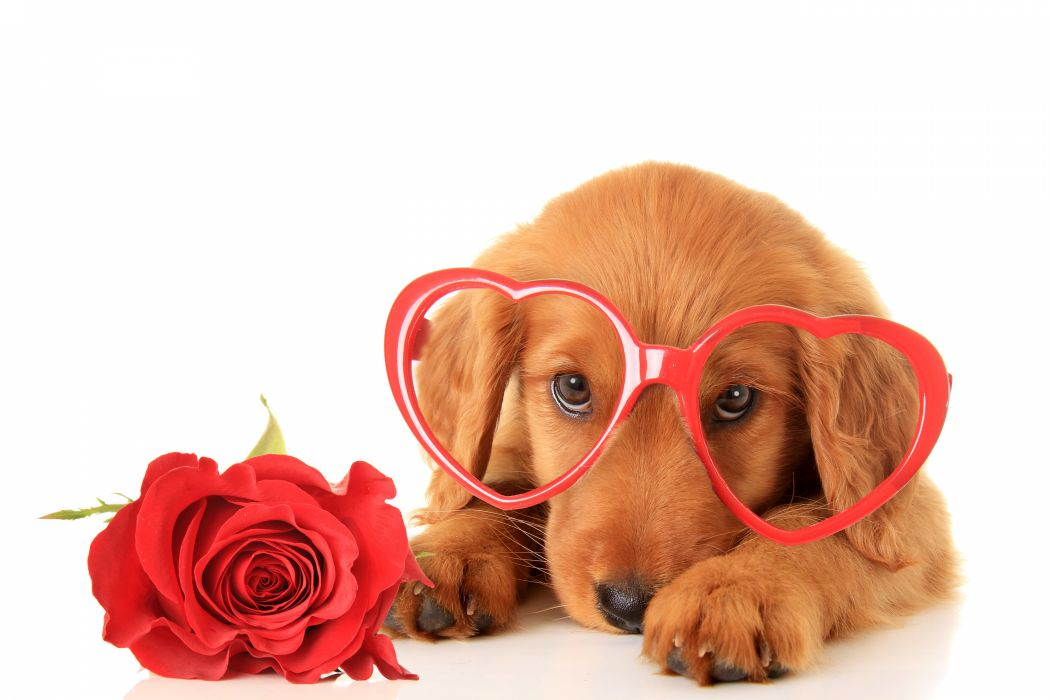 Valentine's Day Dogs Roses Retriever Glasses Heart Glance Animals wallpaper