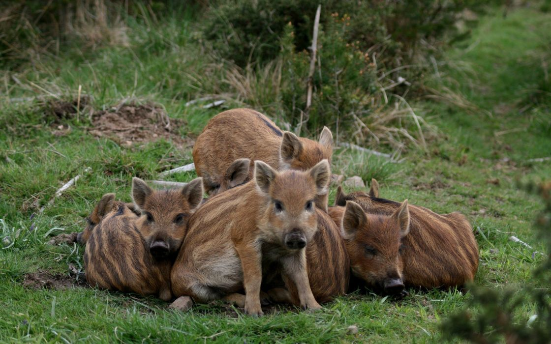 wildlife wild boars and pig wallpaper