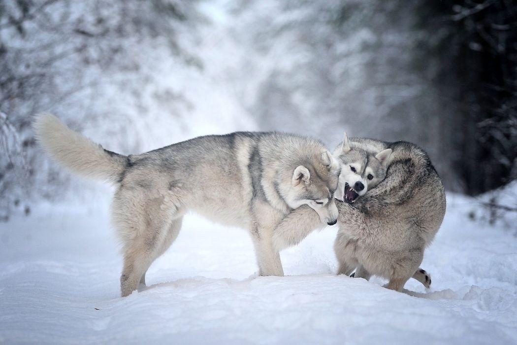winter forest snow dogs husky wallpaper