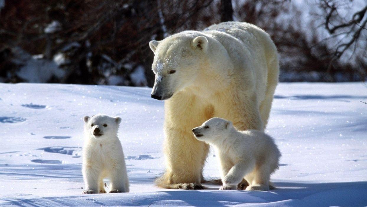 winter white bear polar baby wallpaper