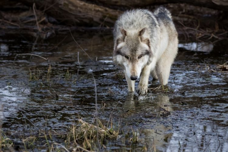 Wolves Water Animals wolf wallpaper